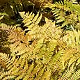 Even the ferns change in the fall